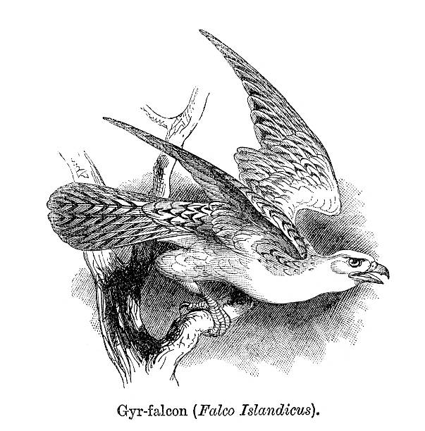 Gyrfalcon clipart #14, Download drawings