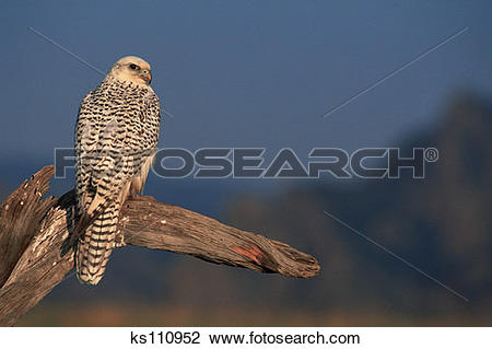 Gyrfalcon clipart #12, Download drawings