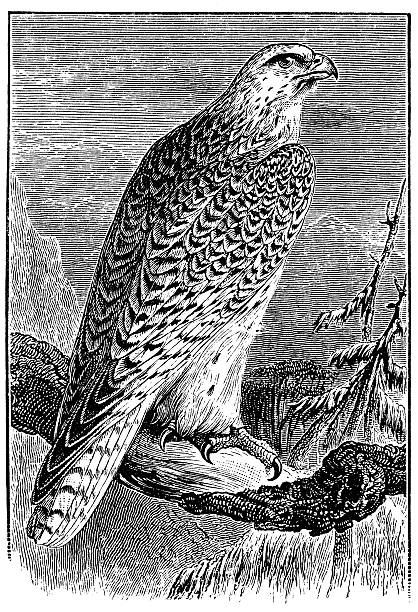 Gyrfalcon clipart #6, Download drawings