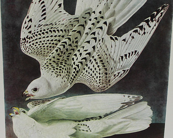 Gyrfalcon clipart #17, Download drawings