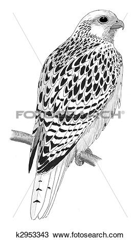Gyrfalcon clipart #18, Download drawings