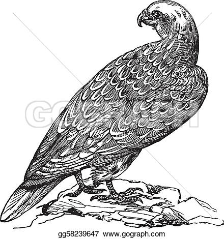 Gyrfalcon clipart #7, Download drawings