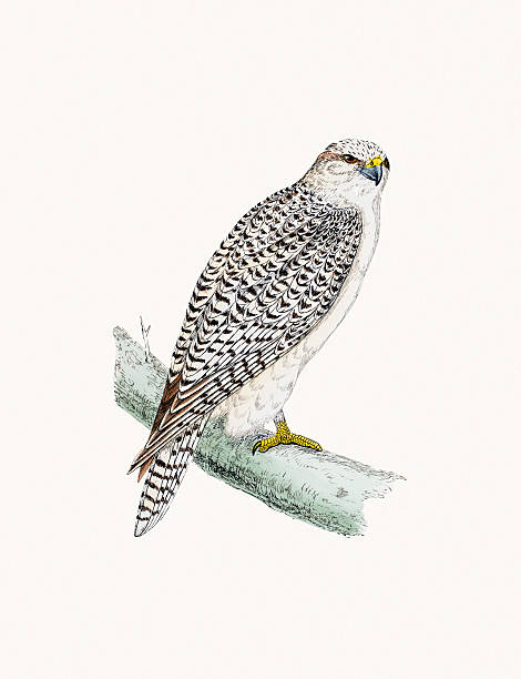 Gyrfalcon clipart #15, Download drawings