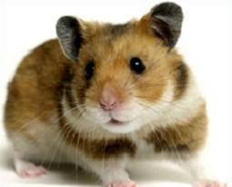 Hamster clipart #14, Download drawings