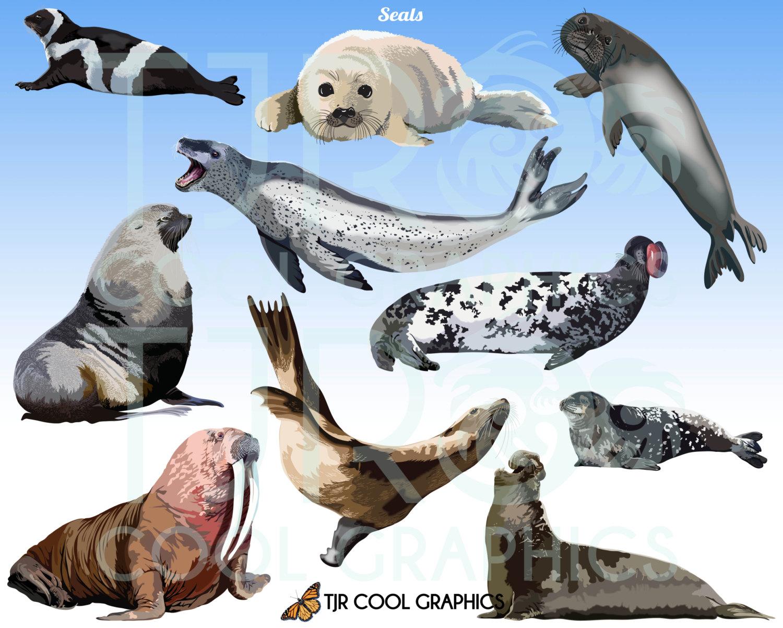 Harp Seal clipart #2, Download drawings