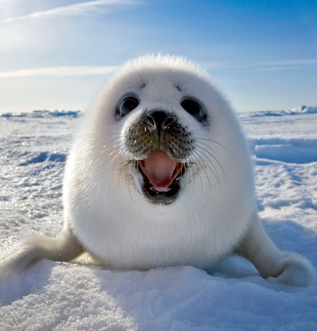 Harp Seal clipart #10, Download drawings