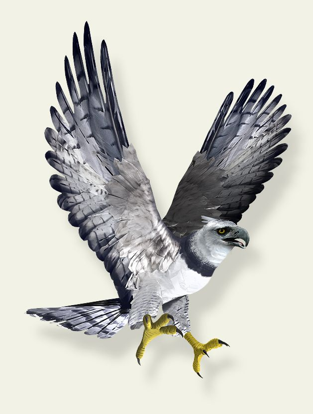 Harpy Eagle clipart #8, Download drawings