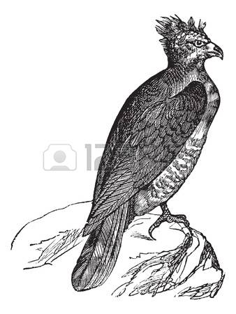 Harpy Eagle clipart #1, Download drawings