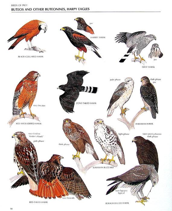 Harris Hawk clipart #4, Download drawings