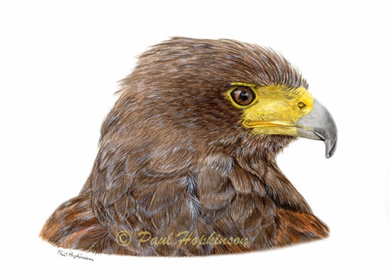 Harris Hawk clipart #15, Download drawings
