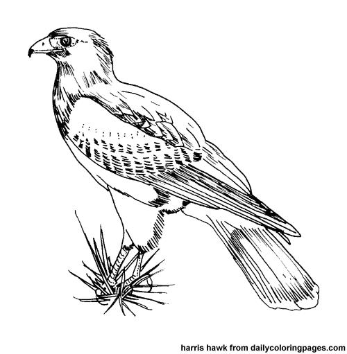 Red-tailed Hawk coloring #5, Download drawings