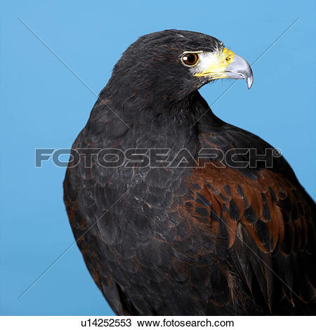 Harris's Hawk clipart #10, Download drawings