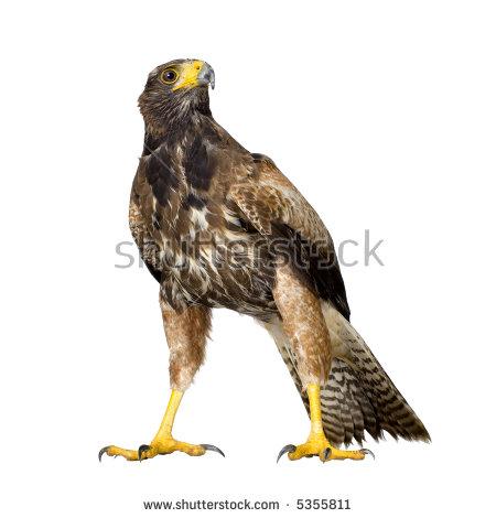 Harris's Hawk clipart #3, Download drawings