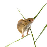 Harvest Mouse clipart #17, Download drawings