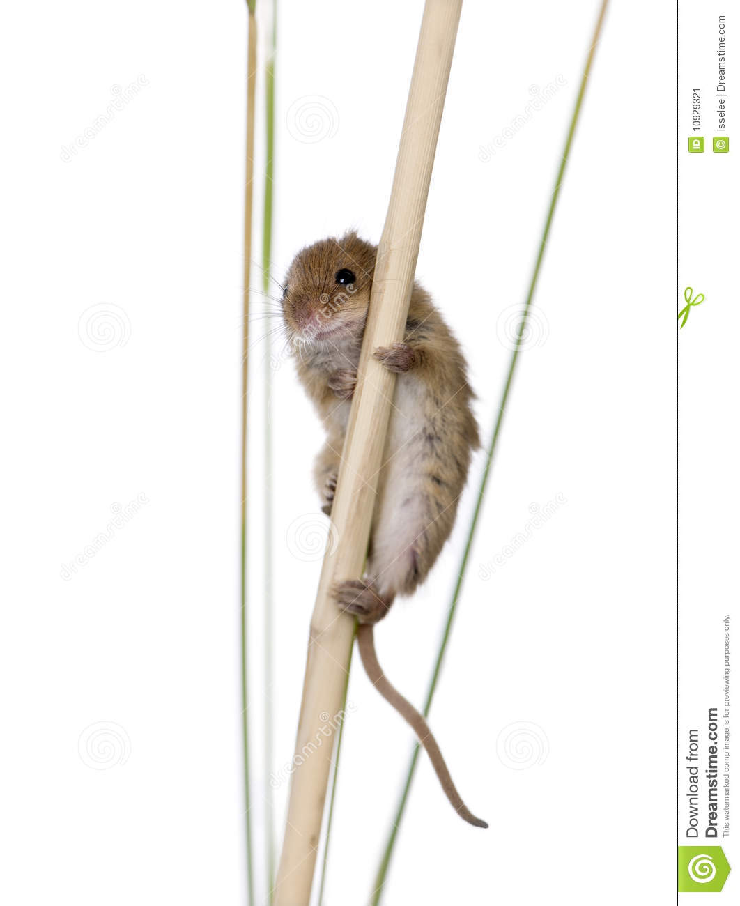 Harvest Mouse clipart #11, Download drawings