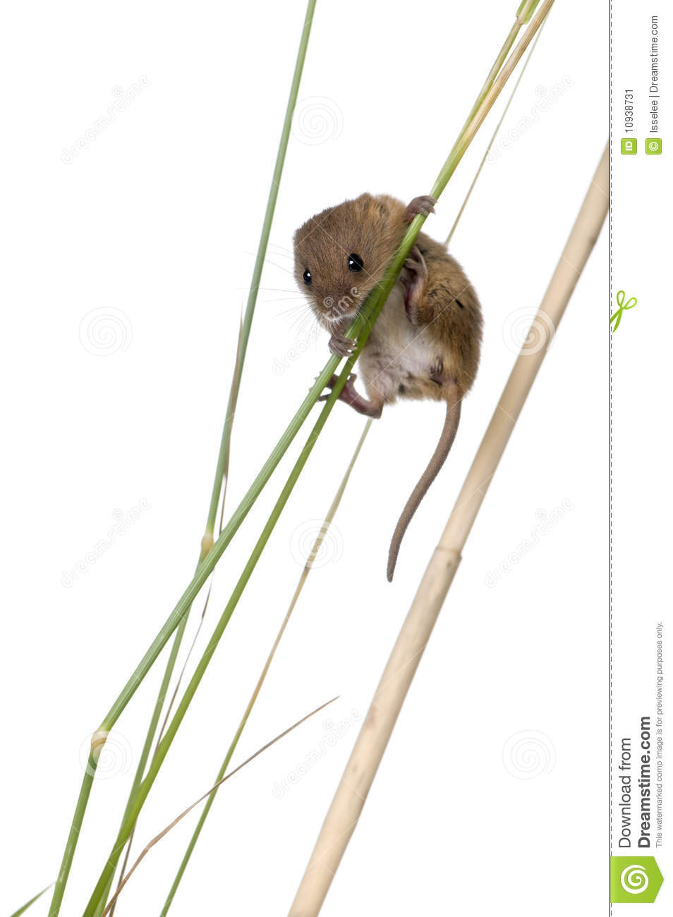 Harvest Mouse clipart #14, Download drawings