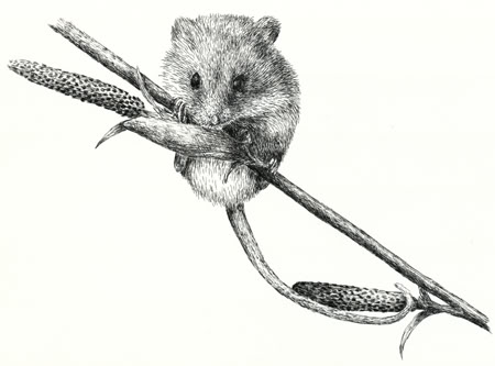 Harvest Mouse clipart #12, Download drawings