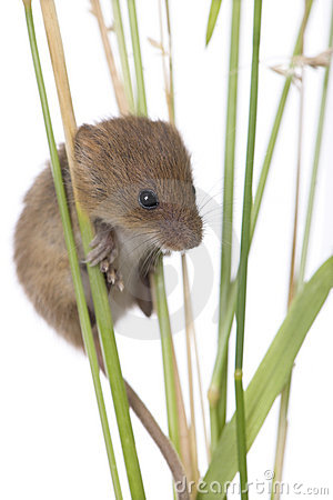 Harvest Mouse clipart #20, Download drawings