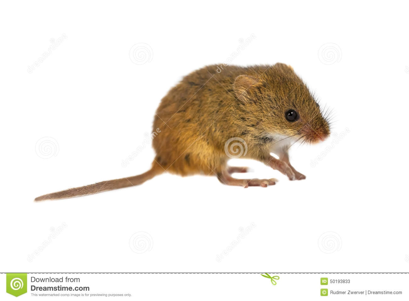 Harvest Mouse clipart #6, Download drawings