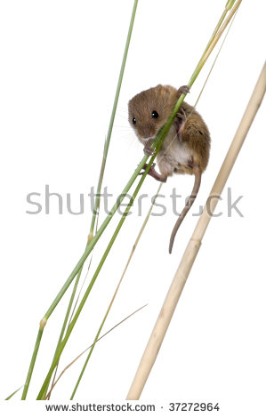 Harvest Mouse clipart #7, Download drawings