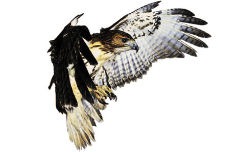 Red-tailed Hawk clipart #6, Download drawings