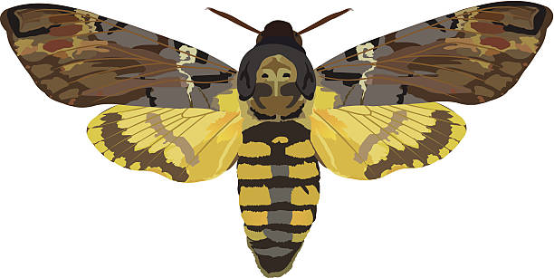 Hawk Moth clipart #12, Download drawings