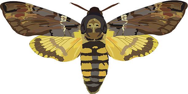 Hawk Moth clipart #9, Download drawings