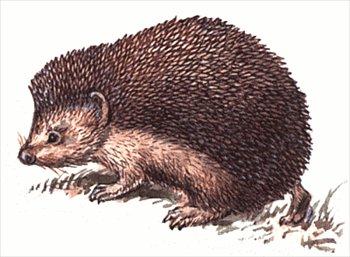 Hedgehog clipart #7, Download drawings