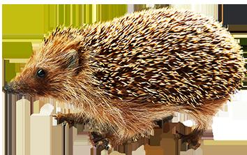 Hedgehog clipart #6, Download drawings
