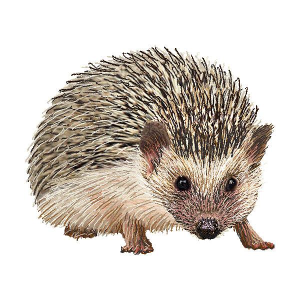 Hedgehog clipart #3, Download drawings