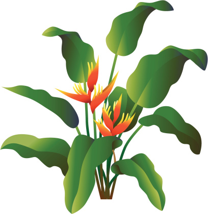 Heliconia clipart #4, Download drawings