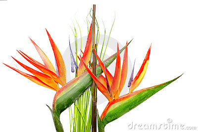 Heliconia clipart #13, Download drawings