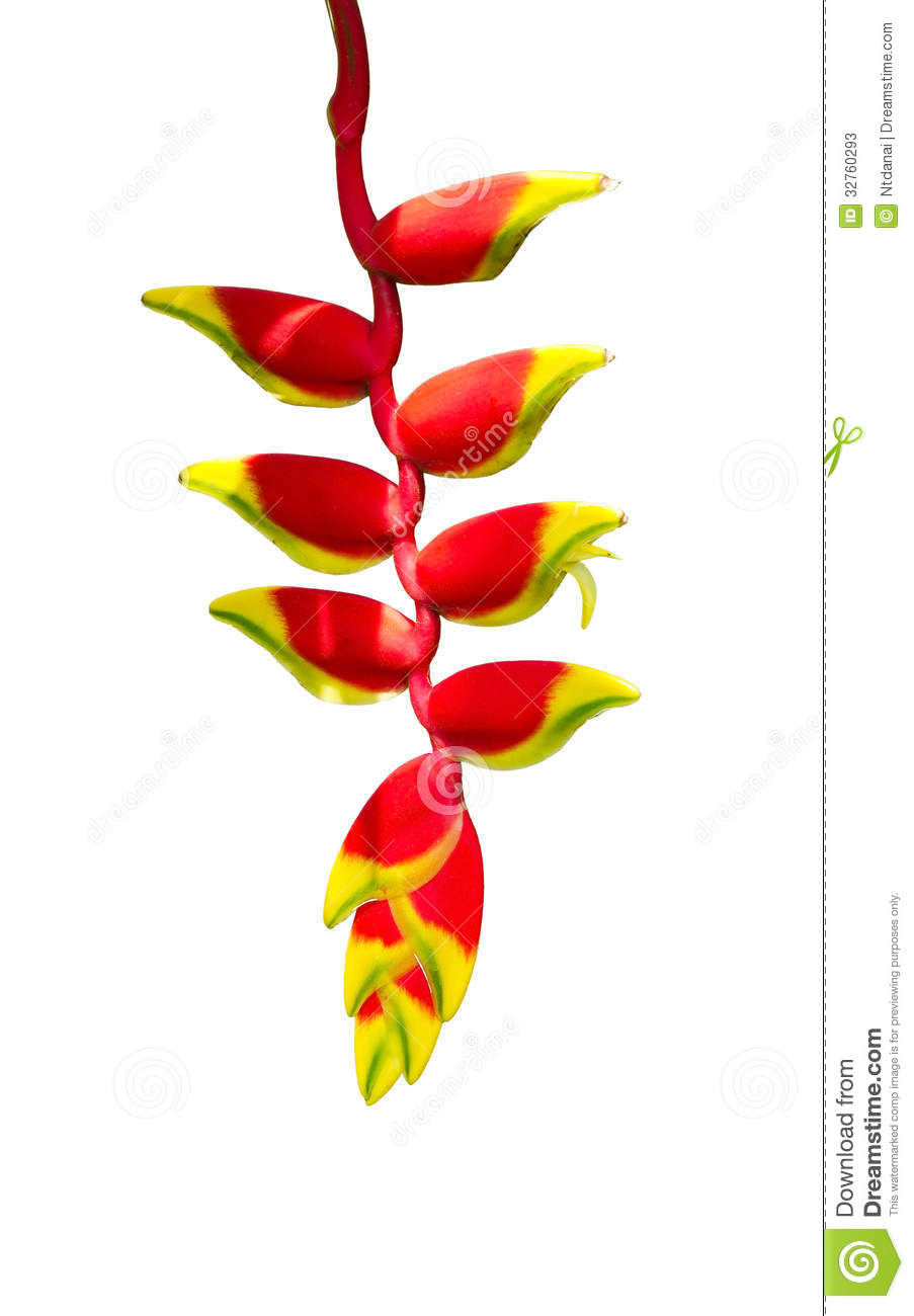 Heliconia clipart #2, Download drawings