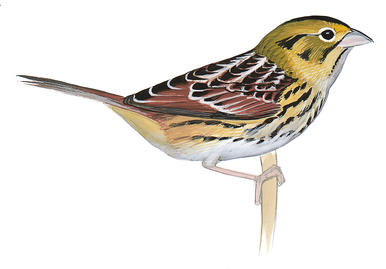 Henslow's Sparrow clipart #18, Download drawings