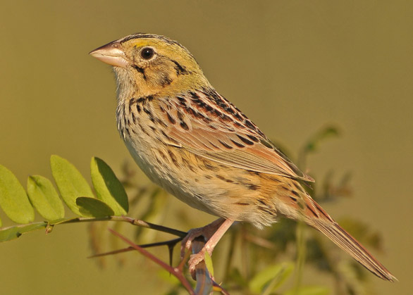 Henslow's Sparrow clipart #10, Download drawings