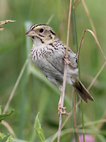 Henslow's Sparrow clipart #3, Download drawings