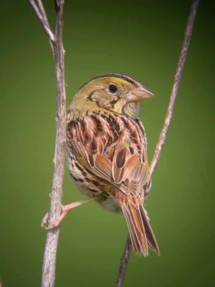 Henslow's Sparrow clipart #1, Download drawings