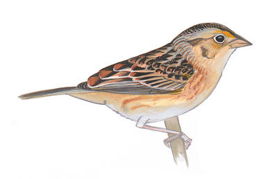 Henslow's Sparrow clipart #20, Download drawings