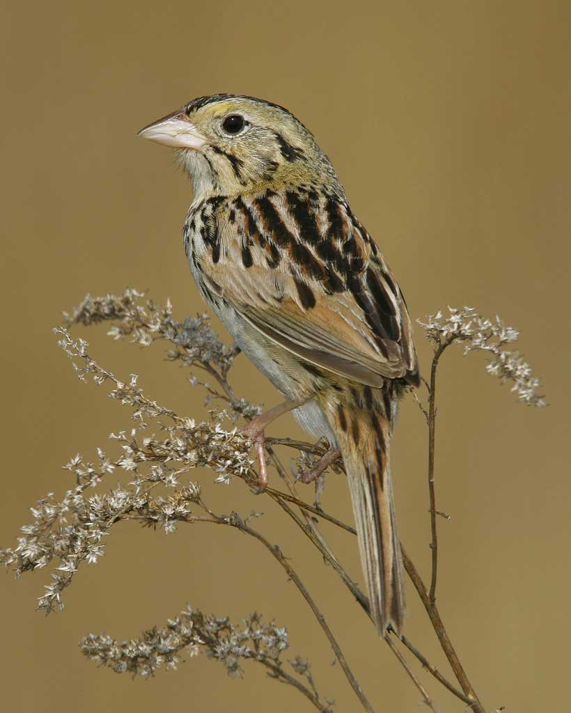 Henslow's Sparrow clipart #17, Download drawings