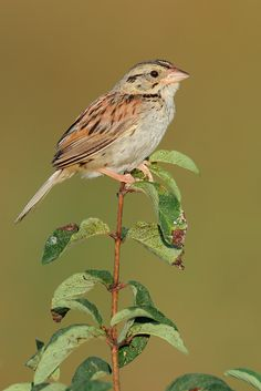 Henslow's Sparrow clipart #12, Download drawings
