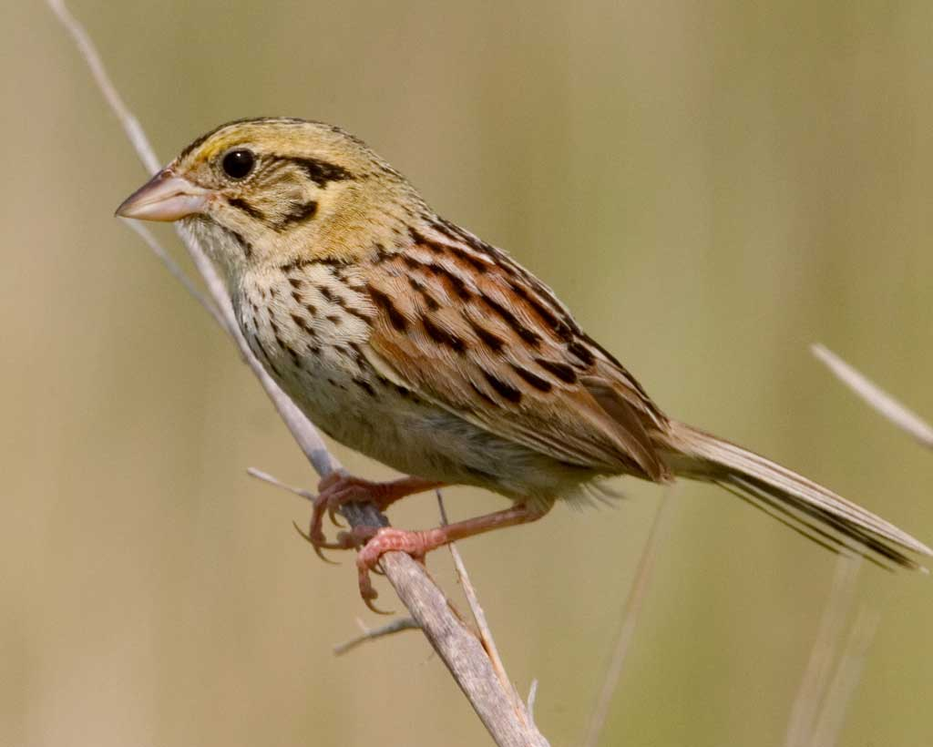 Henslow's Sparrow clipart #5, Download drawings