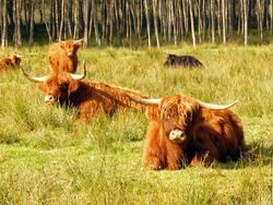 Highland Cattle coloring #10, Download drawings