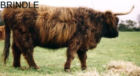 Highland Cattle coloring #5, Download drawings