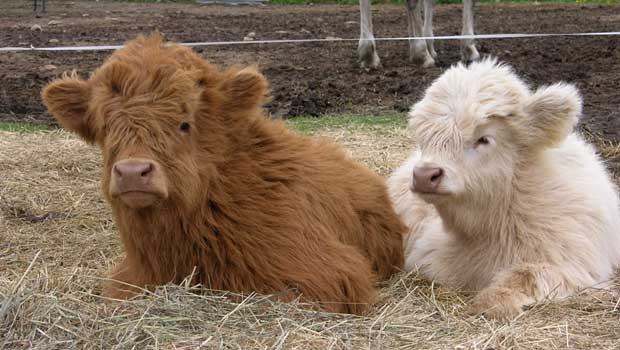 Highland Cattle coloring #9, Download drawings
