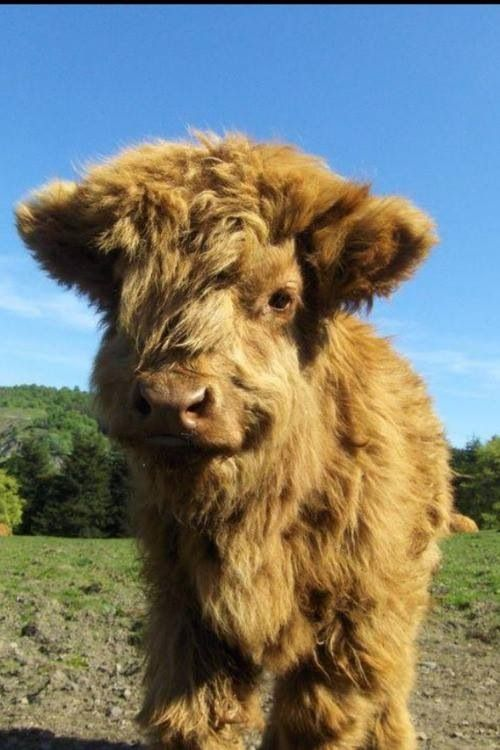 Highland Cattle coloring #12, Download drawings