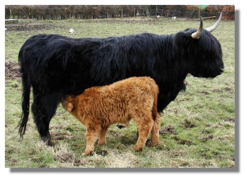 Highland Cattle coloring #13, Download drawings