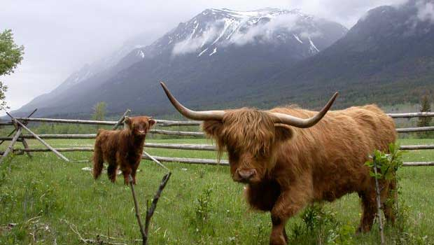 Highland Cattle coloring #8, Download drawings