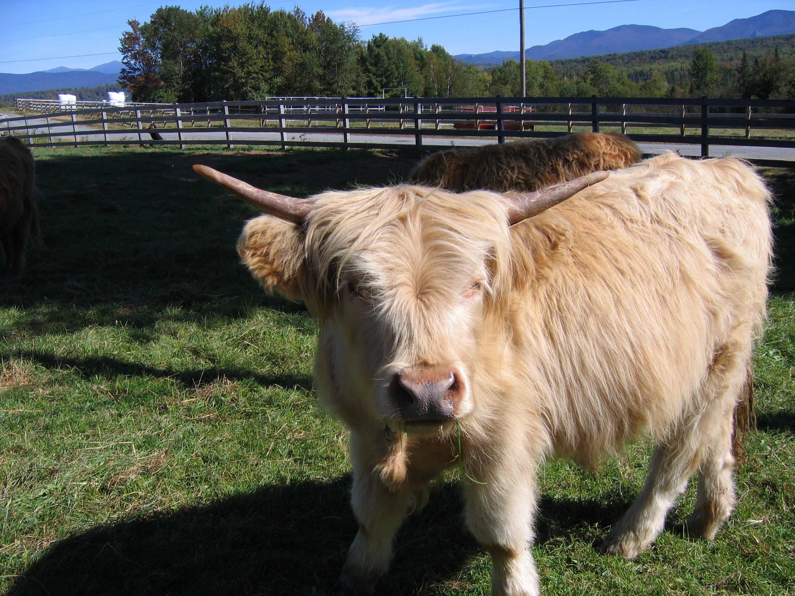 Highland Cattle coloring #7, Download drawings