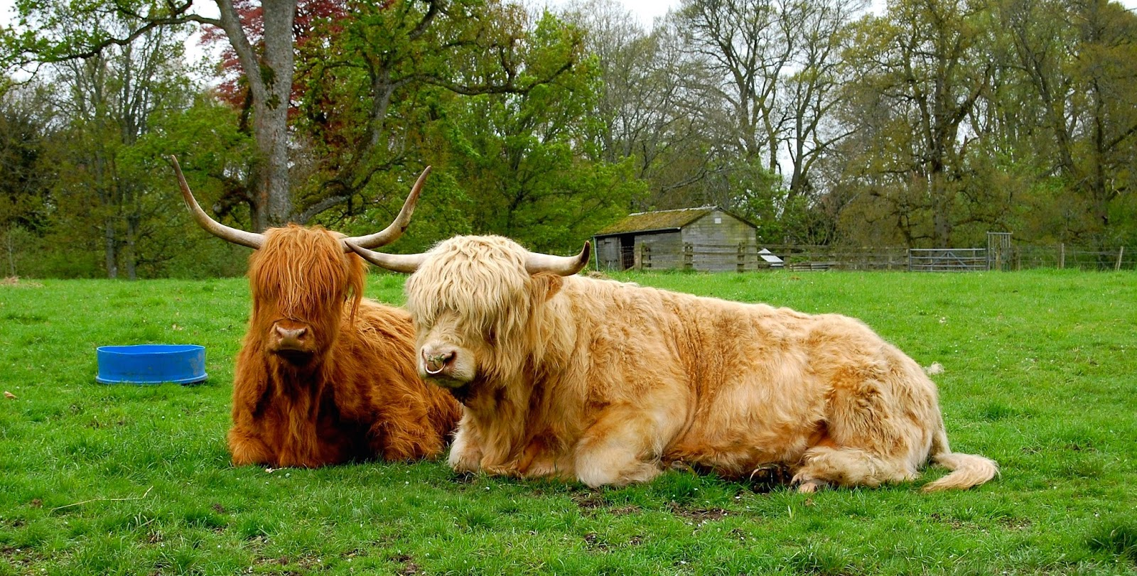 Highland Cattle coloring #19, Download drawings