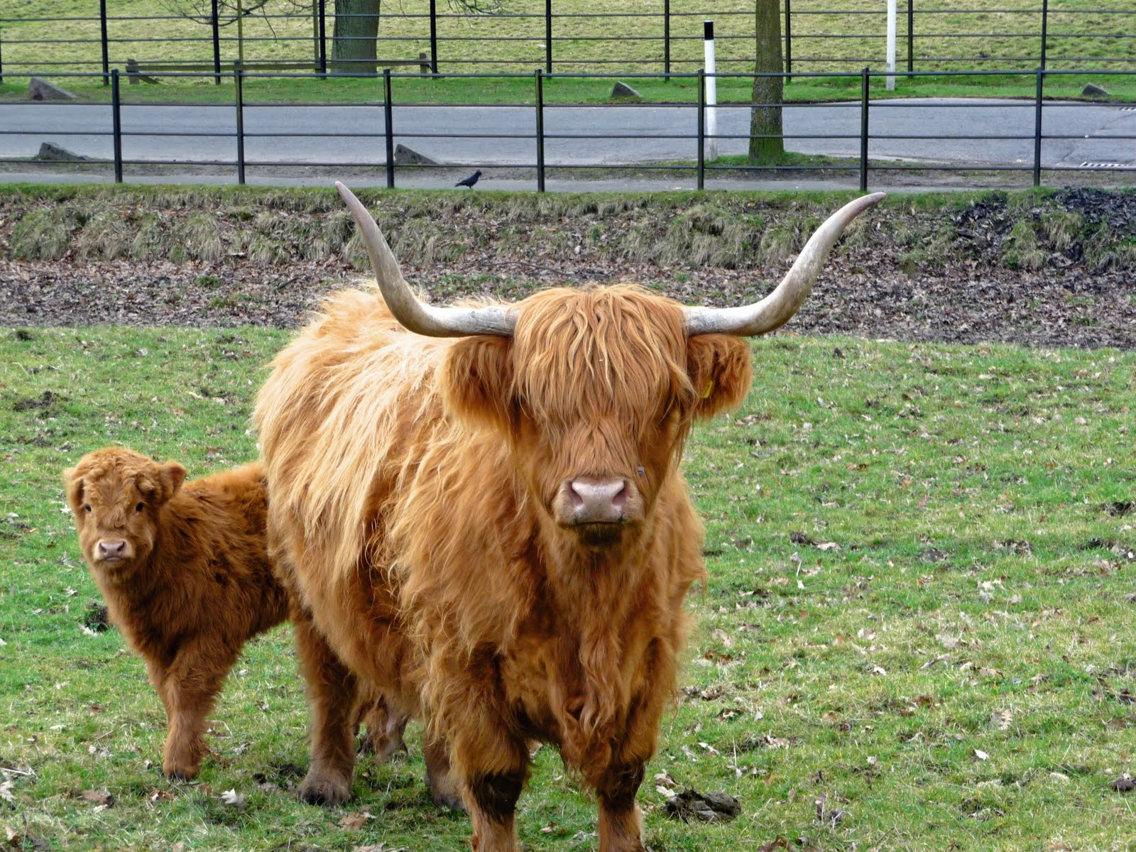 Highland Cattle coloring #1, Download drawings